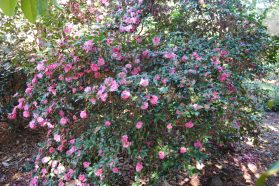 Camellia blooms heavy on a bush.