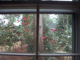 Outside the window camellias are in bloom.