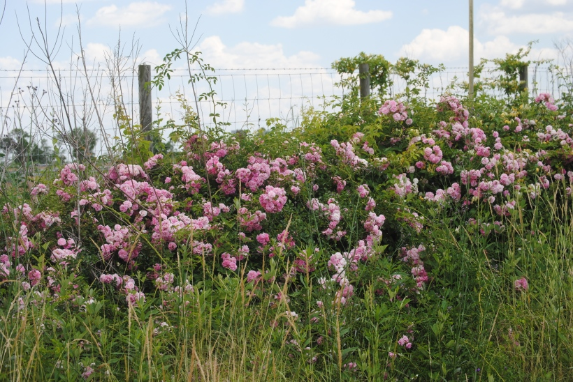 Under a blue sky and fluffy clouds, pink roses grow wild.
