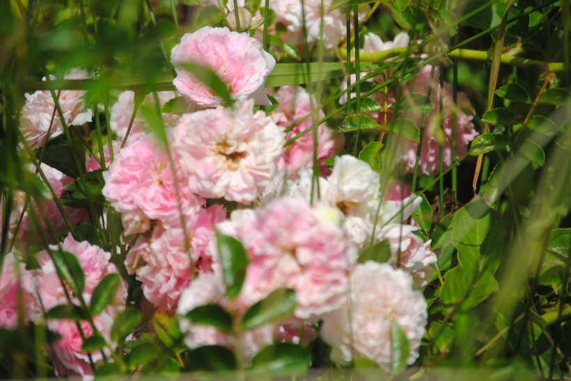 Wild roses beside the road.