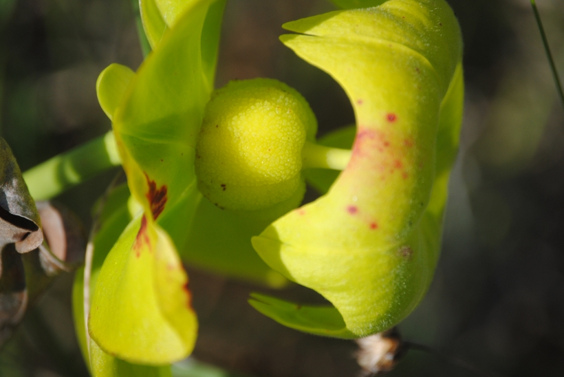 A seductive yellow pitcher plant in a bog in South Georgia was photographed by Brenda Sutton Rose.